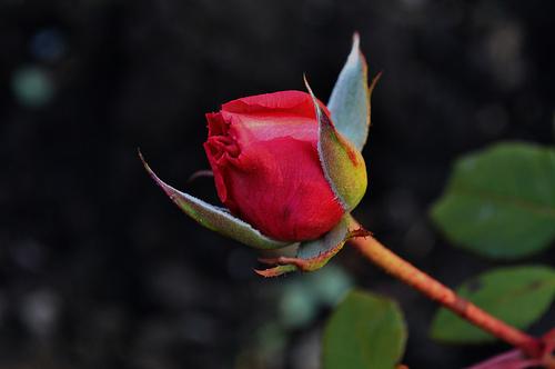 trandafir-inflorit